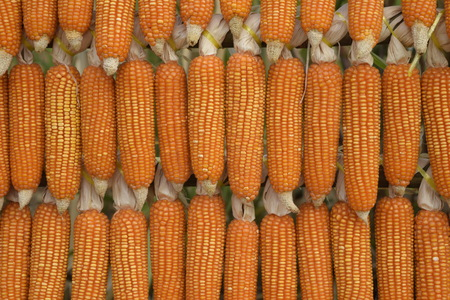 Dried Corn Tile Background