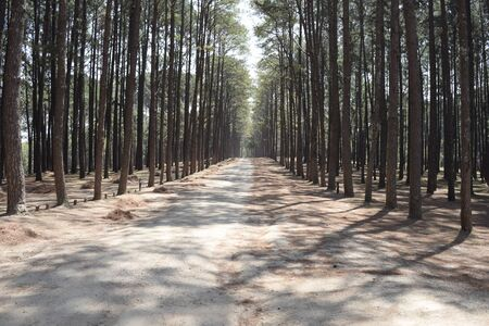 ry: Pine Wood Forest