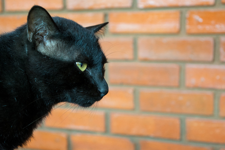 Black Cat with brick wall background