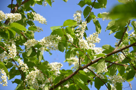flowers on a tree in spring, the first fresh flowers on the tree bloom. Spring Cherry blossoms, white flowers /