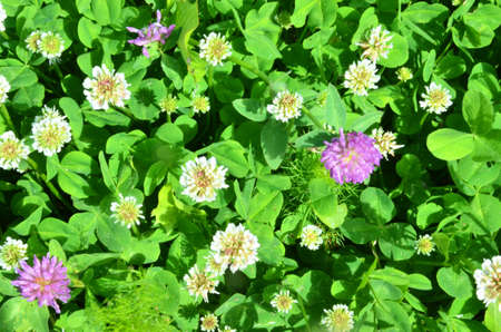lilac, purple and white clover flowers on a green meadow Large green clover field in forest Archivio Fotografico