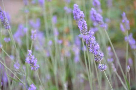 Blurred Lavender bushes closeup on sunset.