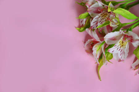purple and lilac flowers alstroemeria on a pink background. spring, summer concept, background for cards and cosmetics