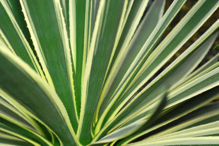 Agave leafs background Stock Photo