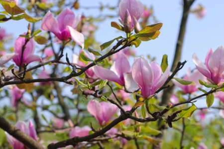 Beautiful blooming magnolia tree in the spring