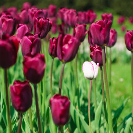 Red tulips forming the background for a single white one