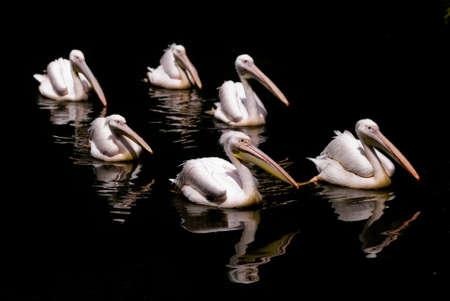 Flock of pelicans