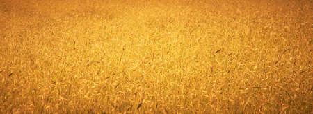 Golden wheat growing in a farm field (Shallow depth of field) photo