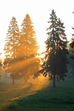 モミの森の空き地で上昇太陽ビーム