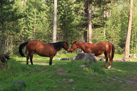 two red horses standing on a glade in pine wood Stock Photo - 7256278