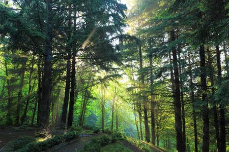夏の朝。Bacrground で簡単な霧を通る光線は目に見える 写真素材