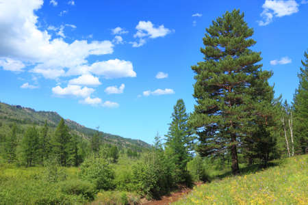 big pine on a glade on the background of mountains and blue sky. Siberia