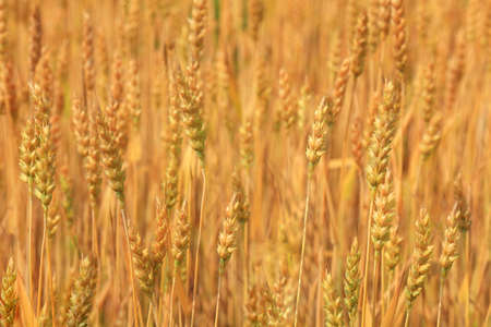 spikelets of  ripe wheat on a blurred background of other spikelets