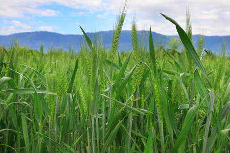 barley spikelets on blurred background of field and mountains