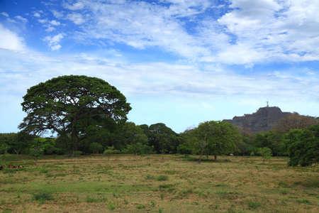 Huge ceiba in the pasture in Nicaragua near the San Juan del Sur