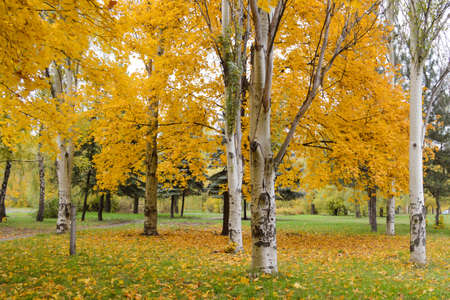 Yellow leaves on pyramidal poplars in the autumn Park