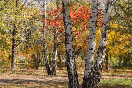 Birch trunk in Donetsk Botanical garden in autumn, trees with colorful leaves. Stock Photo