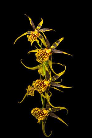 elasticidad: La imagen Orquídea aislado en el fondo negro