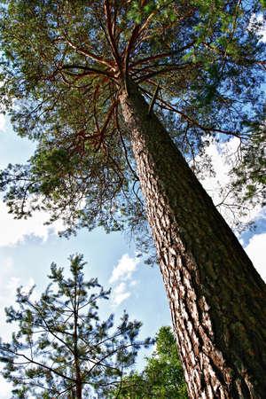 Pine boom van dichtbij over de blauwe hemel