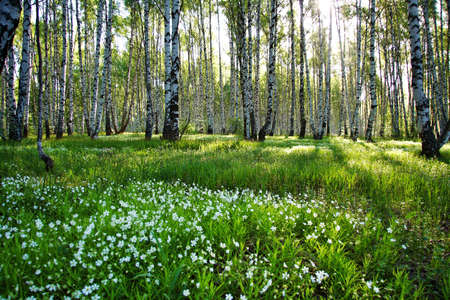 greenwood: Sunny camomile glade in birch forest Stock Photo