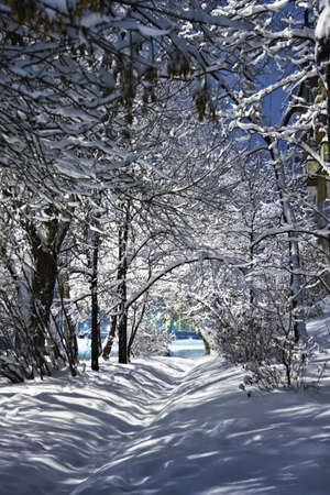 Snow-covered branches of trees in winter photo