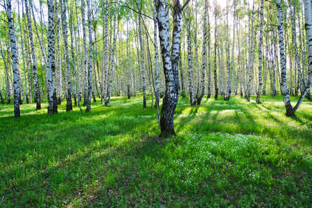 Birch trees with long shadows in summer photo