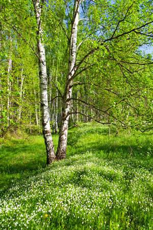 Birch forest on a bright sunny day