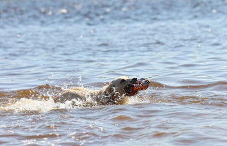 fetch: Labrador retriever carrying plastic bottle in water