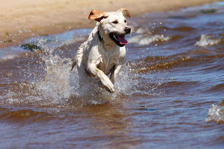 Gelukkig labrador retriever lopen en spetteren in het water