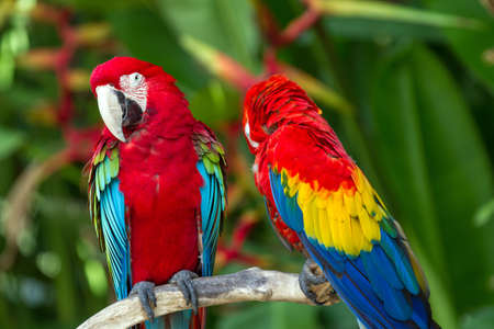green parrot: Couple of Green-Winged and Scarlet macaws in nature surrounding, Bali, Indonesia