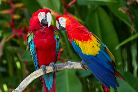 녹색 날개와 주변 자연 스칼렛 마코 앵무의 커플, 발리, 인도네시아 스톡 콘텐츠