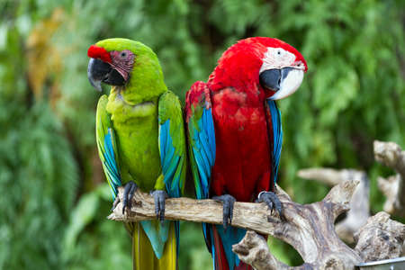 Couple of Green-Winged and Great Green macaws in nature surrounding, Bali, Indonesia photo