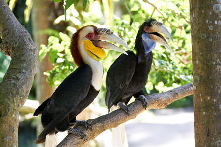 Bar-pouched Wreathed Hornbills couple  Rhyticeros undulatus  in nature surrounding, Bali, Indonesia photo