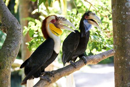 undulatus: Bar-pouched Wreathed Hornbills couple  Rhyticeros undulatus  in nature surrounding, Bali, Indonesia