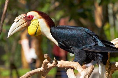 undulatus: Bar-pouched Wreathed Hornbill (Rhyticeros undulatus) in nature surrounding, Bali, Indonesia Stock Photo