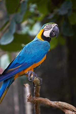 ararauna: Azul y oro guacamayo (ara ararauna) en la naturaleza circundante, Bali, Indonesia