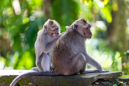 fleas: One monkey helps to get rid of fleas to another, Bali, Indonesia