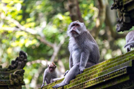 Two monkeys at sacred monkey forest Ubud Bali Indonesia Stock Photo