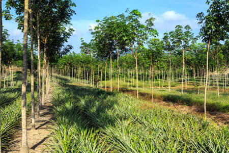 timber harvesting: Rubber Tree And Pineapple Plantation With Rows Of Cultivated Trees In Phuket, Thailand