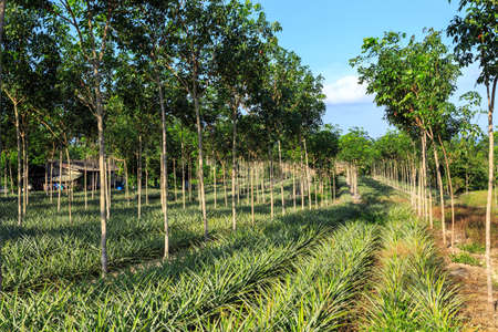 Rubber Tree And Pineapple Plantation With Rows Of Cultivated Trees In Phuket, Thailand photo