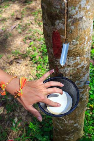 tapping: Toccando lattice da un primo piano albero della gomma