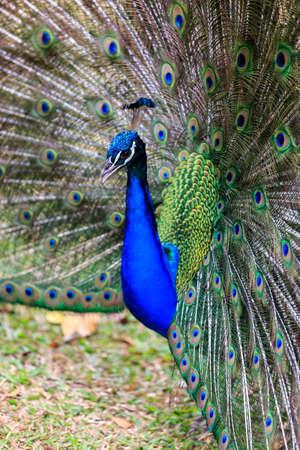 strutting: Beautiful vibrant peacock strutting his stuff for ladies