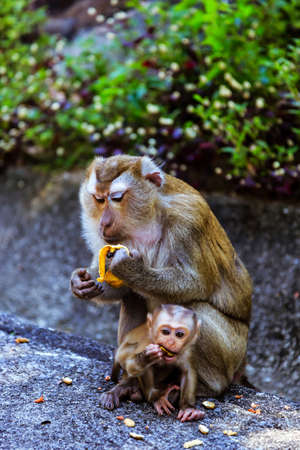 Monkey with a baby eating banana at Monkey Hill, Phuket, Thailand