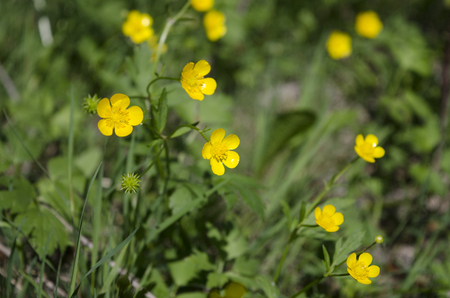 small field: Small field yellow flowers growing in the summer