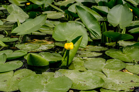 freshwater snails: Yellow lily in the green leaves
