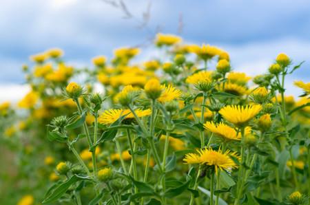 field of flower: Giacimento di fiore giallo