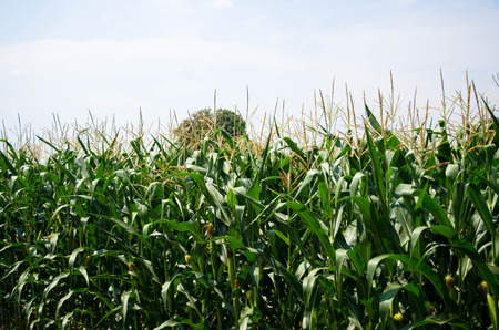 unpicked: Row of fresh unpicked corn. Corn field Stock Photo
