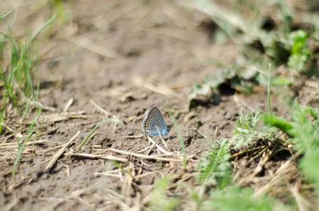 amanda: Blue butterfly Amanda sitting on the ground around green grass