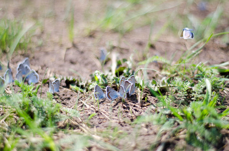 sitting on the ground: Many blue butterflies sitting on the ground in the grass Stock Photo
