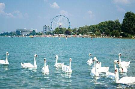 Swan flock on the Balaton lake in Siofok with Ferris wheel in the background
